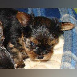 yoskshires bebes para venda foto 1