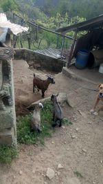 Casal cabras anãs foto 1