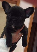 Venda de bulldog francês foto 1