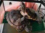 2 tartarugas foto 1