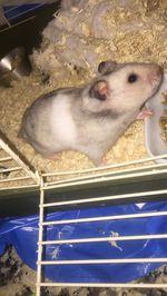 Hamster sírio foto 1