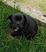 Bulldog Francês foto 1