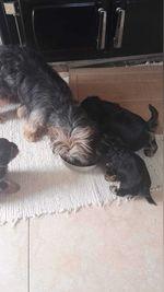 Vendo filhotes de yorkshire terrier ,tem só dois machos,estão com 60 dias e dão lindos... foto 1