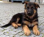 Lindos cachorros de Pastor Alemão - Grande Porto foto 1