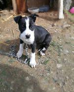 Vendo cadelinha pitbull com 2 meses e meio. foto 1