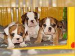 Cachorros Bulldog Inglês C/Lop. foto 1