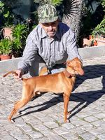 Cachorros podengo andaluz foto 1