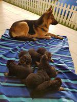 Cachorros Pastor Alemão foto 1