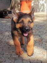Lindo Cachorro Pastor Alemão foto 1