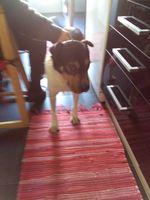 Cadela para adopção foto 1