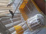 Passaros  aceito troca por casal de canarios foto 1