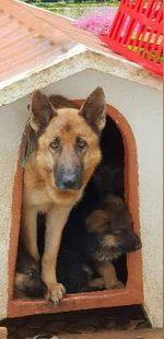 Cachorros pastor Alemão (puros) foto 1