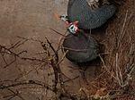 Casal de galinhas de Angola foto 1