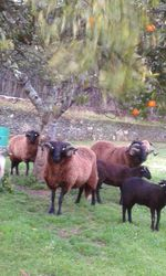 Ovelhas foto 1