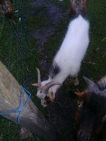 Cabras anãs foto 1