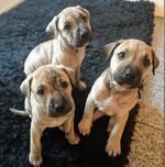 Cachorros American Straffordshire Terrier foto 1