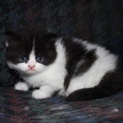 Gatinhos persa muito fofos. foto 1