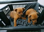 Cães pinscher foto 1