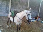 Troco o vendo um cavalo com 5 anos monta i engatado foto 1