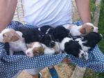 Cachorros Epagnuel Breton foto 1