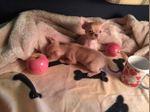 Chihuahua Pêlo Curto Miniatura foto 1