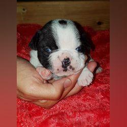 Bulldog frances nascidos a 21 de Maio foto 1