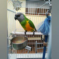 Papagaio do Senegal com gaiola e acessórios foto 1