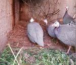 Casais de galinhas de Angola, conhecias por galinhas fracas. foto 1