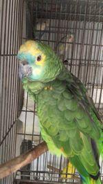 Papagaio Amazona Aestiva foto 1