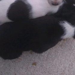 Cachorrinhas pequeninas filhas de pug com pincher foto 1