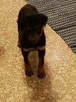 Rottweiler com 4 meses foto 1