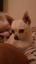 Chihuahua procura namorado foto 1