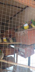 Aves para venda foto 1