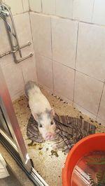 Porco anão entrego em mão na zona Porto foto 1
