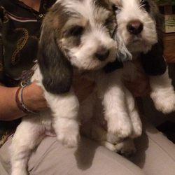 Cachorros Basset Gr foto 1