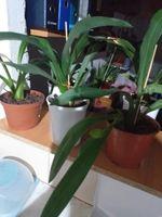 Orquidia para venda, Canbrias cor, violeta negra foto 1