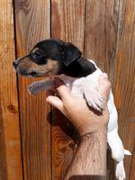 Jack russel terrier foto 1